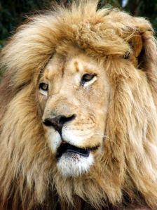 88 lion d